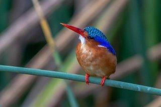 Malachite_Kingfisher.jpg