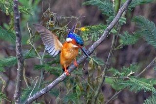 Malagasy_Kingfisher.jpg