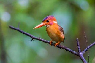 Sulawesi_Dwarf-kingfisher.jpg
