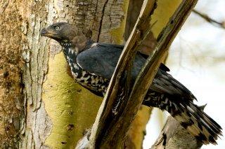African_Crowned_Eagle.jpg