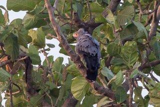 African_Harrier-hawk.jpg