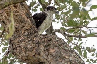 African_Hawk_Eagle.jpg