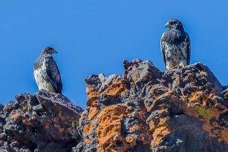 Black-chested_Buzzard-Eagle.jpg