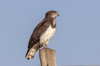 Black-chested_Snake-Eagle.jpg