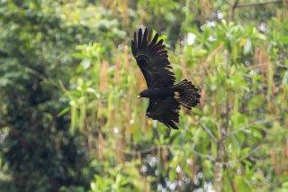 Black_Eagle.jpg