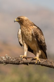 Booted_Eagle.jpg