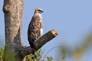 Changeable_Hawk_Eagle.jpg