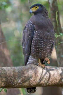 Crested_Serpent_Eagle.jpg