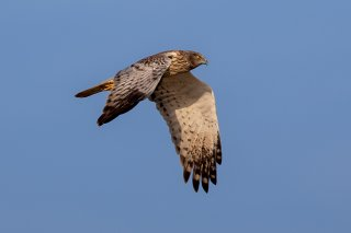 Eastern_Marsh_Harrier_-_Circus_spilonotus.jpg