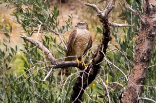 Eurasian_Sparrowhawk.jpg