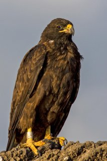 Galapagos_Hawk.jpg