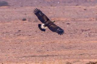 Golden_Eagle_j.jpg