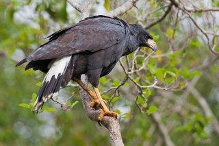 Great_Black_Hawk.jpg