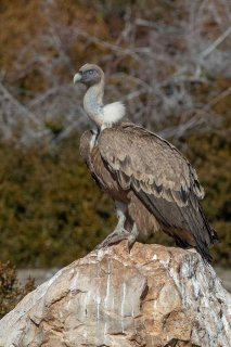 Griffon_Vulture.jpg