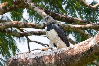 Harpy_Eagle.jpg