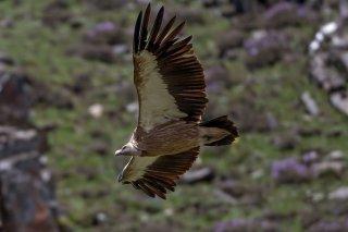 Himalayan_Griffon_Vulture.jpg