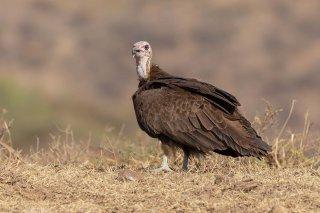 Hooded_Vulture.jpg