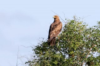 Lesser_Spotted_Eagle.jpg