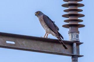 Little_Sparrowhawk.jpg
