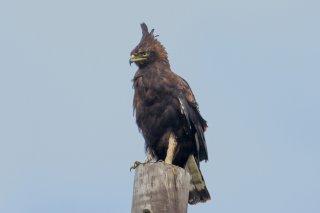Long-crested_Eagle.jpg