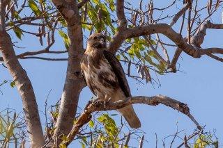 Madagascar_Cuckoo_Hawk.jpg