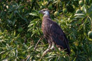 Madagascar_Fish_Eagle.jpg