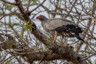 Madagascar_Harrier_Hawk.jpg