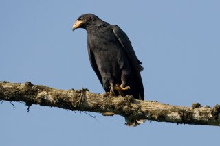 Mangrove_Black_Hawk.jpg