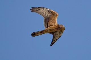 Montagus_Harrier_f.jpg