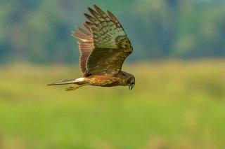 Pied_Harrier_f.jpg