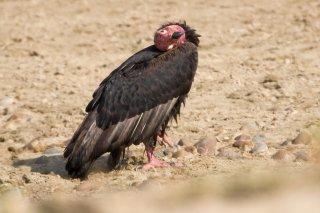 Red-headed_Vulture.jpg