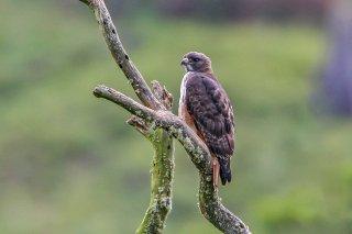 Red-tailed_Hawk.jpg