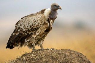 Ruppells_Griffon_Vulture.jpg