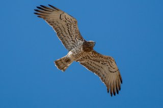 Short-toed_Eagle.jpg