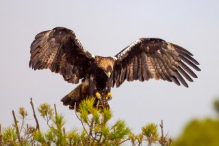 Spanish_Imperial_Eagle.jpg