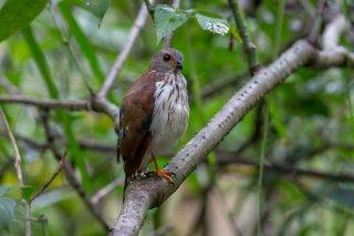 Spot-tailed_Sparrowhawk_j.jpg