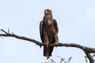 Steppe_Eagle.jpg