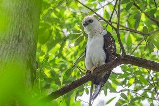 Sulawesi_Hawk_Eagle_j.jpg
