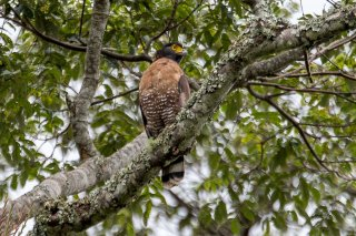 Sulawesi_Serpent-eagle.jpg