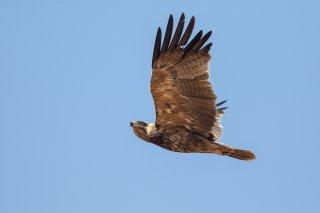 Tawny_Eagle.jpg