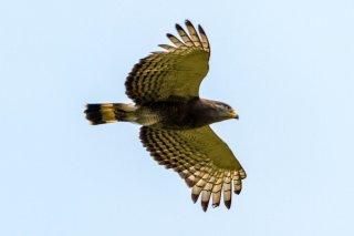 Western_Banded_Snake_Eagle.jpg