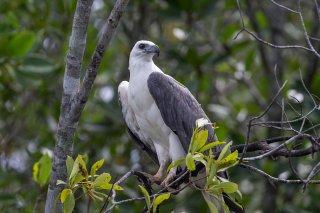 White-bellied_Sea_Eagle.jpg
