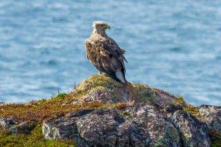 White-tailed_Eagle.jpg