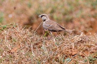 Ashy-crowned Sparrow Lark - Eremopterix griseus