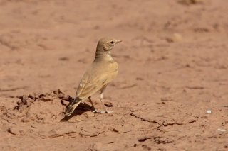 Bar-tailed Lark - Ammomanes cinctura