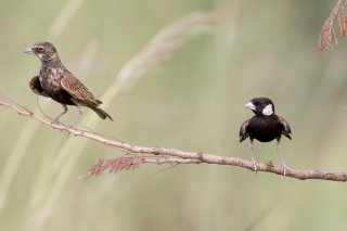 Chestnut-backed Sparrow-Lark - Eremopterix leucotis