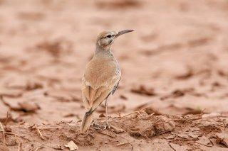 Greater Hoopoe Lark - Alaemon alaudipes