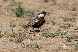 Grey-backed Sparrow Lark - Eremopterix verticalis