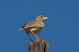 Jerdon's Bushlark - Mirafra affinis