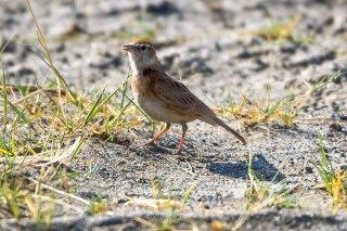 Red-capped Lark - Calandrella cinerea